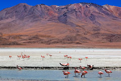 bolivia celeste laguna Royaltyfri Foto