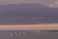 bolivia colorada laguna Royaltyfri Foto