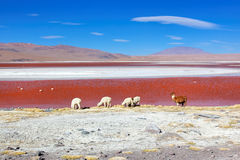 bolivia colorado laguna Arkivbild