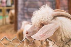 Bolivia goat in farm Royalty Free Stock Photos