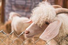 Bolivia goat in farm Stock Image