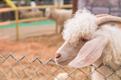 Bolivia goat in farm Royalty Free Stock Image