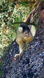 Boliviaanse eekhoornaap die vruchten in boom eten royalty-vrije stock foto