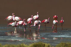 Boliviaanse flamingo's Stock Foto