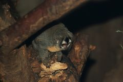 Boliviaanse Nachtaap Stock Foto's