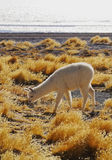Bolivian Alpaca Royalty Free Stock Images