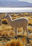Bolivian Alpaca Stock Photos