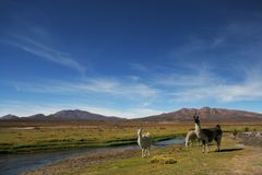 Bolivian Altiplano. Lamas on Altiplano in Southwestern Bolivian Andes Royalty Free Stock Photo