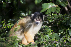 Bolivian black capped squirrel monkey Royalty Free Stock Image