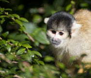 Bolivian black capped squirrel monkey, Saimiri Boliviensis  Royalty Free Stock Photos