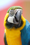 Bolivian Blue-and-Gold Macaw in Aruba Royalty Free Stock Photos