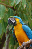 Bolivian Blue and Gold Macaw Bird Royalty Free Stock Images