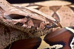 Bolivian boa (Boa constrictor amarali) Royalty Free Stock Image