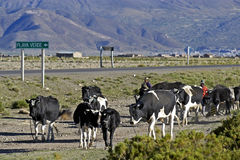 Bolivian cattle herdsmen and a herd of cows Stock Photo