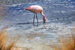 Bolivian flamingos Royalty Free Stock Photography