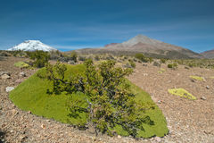 Bolivian grass and volcanos. Andean flower in detail in the Bolivian altiplano with volcano behind Stock Image