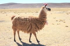 Bolivian Lama. This photo was taken during my tour from Tupiza to Uyuni across the desert in Bolivia describing a lama Stock Photography