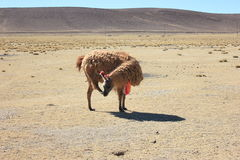 Bolivian Lama Scratching its Face Royalty Free Stock Photo