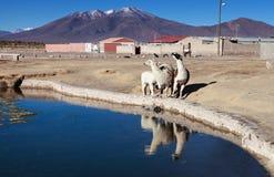 Bolivian lamas Stock Images