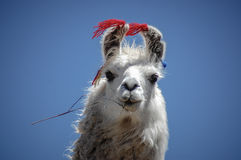 Bolivian llama Stock Photo