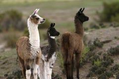Bolivian Llamas. Llamas from the high lands of Bolivia in South America royalty free stock image