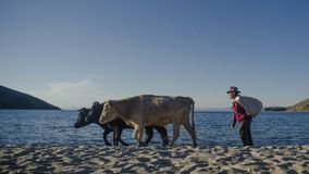 Bolivian man walking with their cows stock photo
