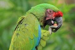 Bolivian military macaw Stock Photography