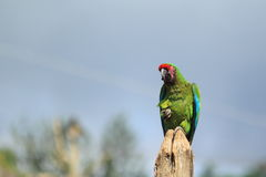 Bolivian military macaw Stock Images