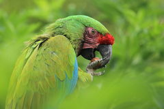 Bolivian military macaw Royalty Free Stock Image