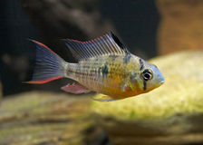 Bolivian Ram Cichlid Royalty Free Stock Images