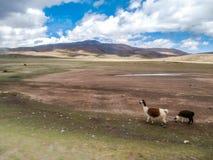 Bolivian skies with llamas walking, altiplano Royalty Free Stock Photo
