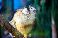 Bolivian squirrel monkey. Beautiful Bolivian squirrel monkey holding onto a rope Stock Photo