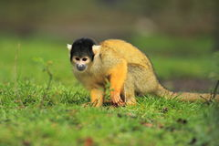 Bolivian squirrel monkey. On the grass Royalty Free Stock Photos