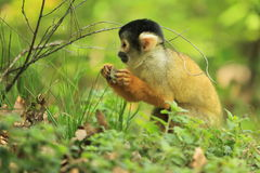 Bolivian squirrel monkey. In the grass Stock Photography