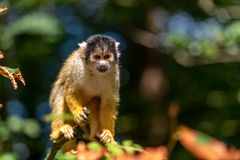 Bolivian squirrel monkey is looking at a branch stock images
