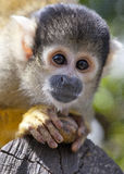 Bolivian Squirrel Monkey Portrait Stock Images