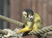 Bolivian Squirrel Monkey. Portrait of a Bolivian Squirrel Monkey sitting on rope swing Royalty Free Stock Photo