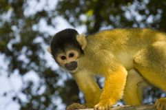 Bolivian squirrel monkey (Saimiri boliviensis) Royalty Free Stock Image