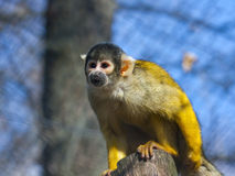 Bolivian squirrel monkey Royalty Free Stock Image