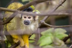 Bolivian Squirrel Monkey (Saimiri boliviensis boliviensis). Spotted outdoors Royalty Free Stock Images