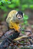 Bolivian squirrel monkey is watching everything stock photo