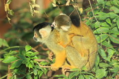 Bolivian squirrel monkeys Stock Photo