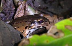 Bolivian Toad-Frog. Night. Manuel Antonio, Costa Rica Royalty Free Stock Photo