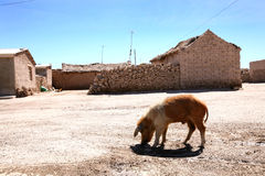 Bolivian village. Pig in a little poor village in Bolivia Stock Images
