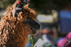 Boliviana del lama Immagine Stock