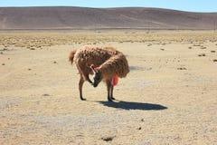 Bolivianska Lama Scratching dess framsida Royaltyfri Foto