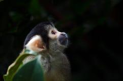 Boliwijka nakrywająca Wiewiórcza małpa Zdjęcie Royalty Free