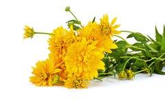 Boll eller Rudbeckia för blomma guld- royaltyfri fotografi