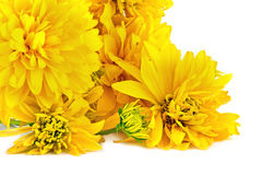 Boll eller Rudbeckia för blomma guld- arkivbild