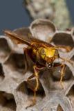 Bolla della vespa Fotografie Stock Libere da Diritti